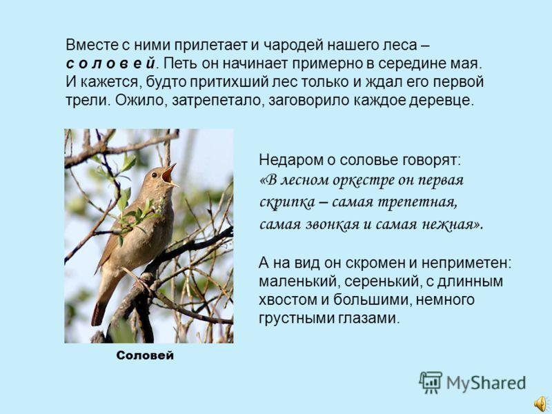 Вместе с ними прилетает и чародей нашего леса – с о л о в е й. Петь он начинает примерно в середине мая. И кажется, будто притихший лес только и ждал его первой трели. Ожило, затрепетало, заговорило каждое деревце. Недаром о соловье говорят: «В лесно