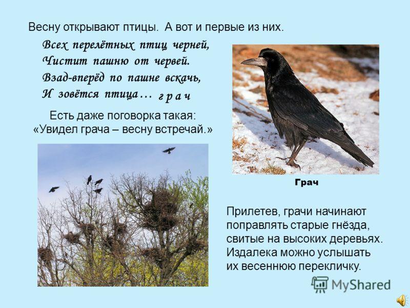 Весну открывают птицы. А вот и первые из них. Всех перелётных птиц черней, Чистит пашню от червей. Взад-вперёд по пашне вскачь, И зовётся птица … г р а ч Есть даже поговорка такая: «Увидел грача – весну встречай.» Прилетев, грачи начинают поправлять