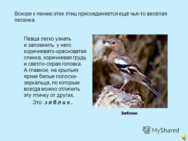 Вскоре к пению этих птиц присоединяется ещё чья-то весёлая песенка. Певца легко узнать и запомнить: у него коричневато-красноватая спинка, коричневая грудь и светло-серая головка. А главное, на крыльях яркие белые полоски- зеркальца, по которым всегд
