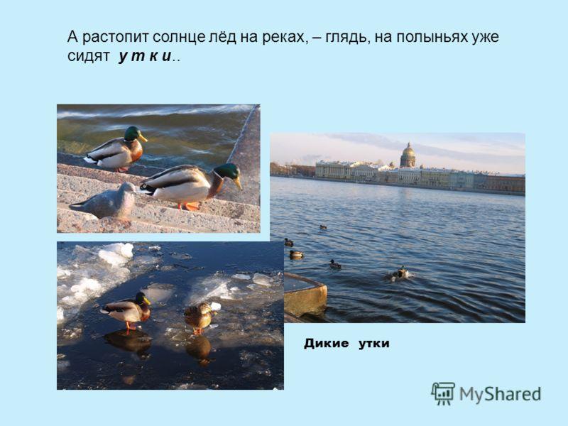А растопит солнце лёд на реках, – глядь, на полыньях уже сидят у т к и.. Дикие утки
