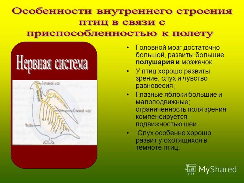 Головной мозг достаточно большой, развиты большие полушария и мозжечок. У птиц хорошо развиты зрение, слух и чувство равновесия; Глазные яблоки большие и малоподвижные; ограниченность поля зрения компенсируется подвижностью шеи. Слух особенно хорошо
