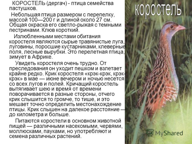 КОРОСТЕЛЬ (дергач) - птица семейства пастушков. Небольшая птица размером с перепелку, массой 100200 г и длиной около 27 см. Общая окраска его светло-рыжая с темными пестринами. Клюв короткий. Излюбленными местами обитания коростеля являются сырые тра