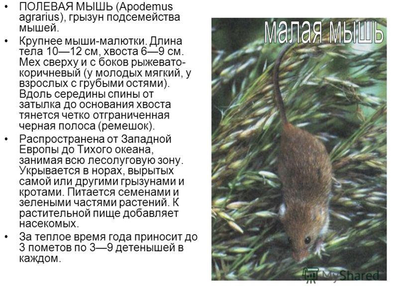 ПОЛЕВАЯ МЫШЬ (Apodemus agrarius), грызун подсемейства мышей. Крупнее мыши-малютки. Длина тела 1012 см, хвоста 69 см. Мех сверху и с боков рыжевато- коричневый (у молодых мягкий, у взрослых с грубыми остями). Вдоль середины спины от затылка до основан