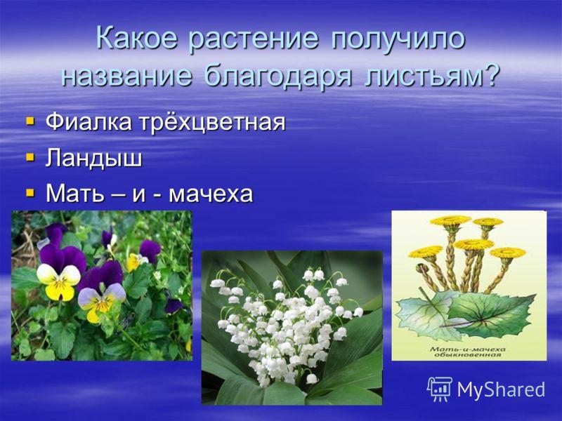 Какое растение получило название благодаря листьям? Фиалка трёхцветная Фиалка трёхцветная Ландыш Ландыш Мать – и - мачеха Мать – и - мачеха