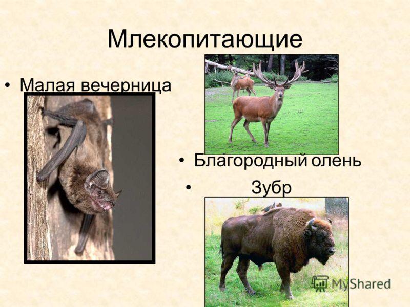 Млекопитающие Малая вечерница Благородный олень Зубр