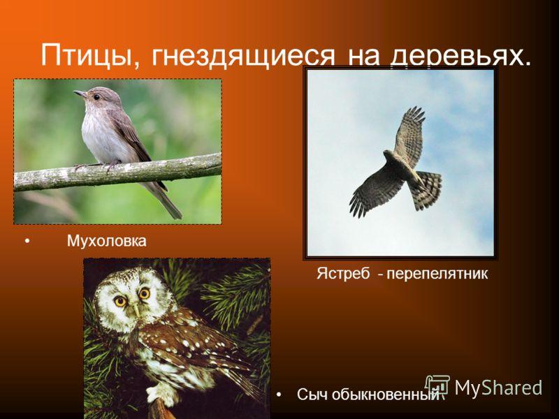 Птицы, гнездящиеся на деревьях. Мухоловка Ястреб - перепелятник Сыч обыкновенный