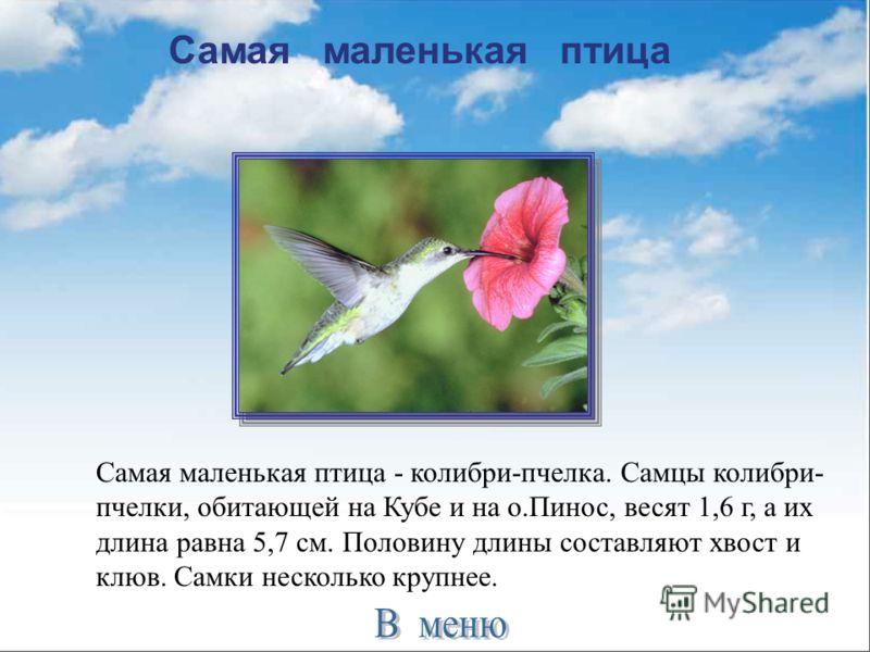 Самая маленькая птица Самая маленькая птица - колибри-пчелка. Самцы колибри- пчелки, обитающей на Кубе и на о.Пинос, весят 1,6 г, а их длина равна 5,7 см. Половину длины составляют хвост и клюв. Самки несколько крупнее.