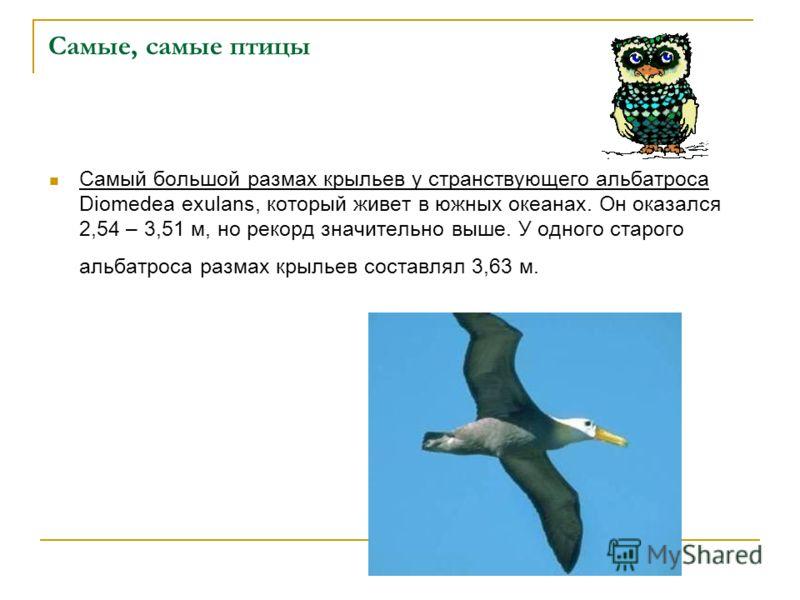 Самые, самые птицы Самый большой размах крыльев у странствующего альбатроса Diomedea exulans, который живет в южных океанах. Он оказался 2,54 – 3,51 м, но рекорд значительно выше. У одного старого альбатроса размах крыльев составлял 3,63 м.