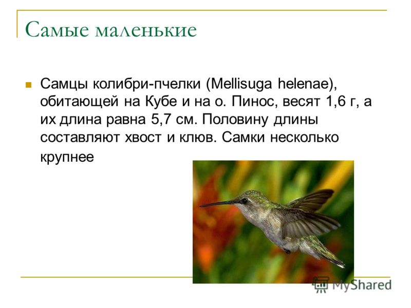 Самые маленькие Самцы колибри-пчелки (Mellisuga helenae), обитающей на Кубе и на о. Пинос, весят 1,6 г, а их длина равна 5,7 см. Половину длины составляют хвост и клюв. Самки несколько крупнее