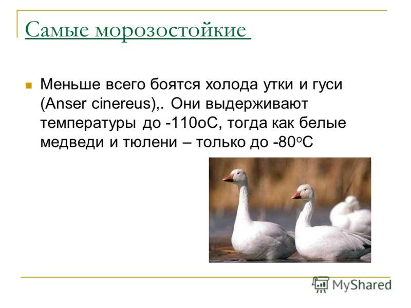 Самые морозостойкие Меньше всего боятся холода утки и гуси (Anser cinereus),. Они выдерживают температуры до -110оС, тогда как белые медведи и тюлени – только до -80 о С