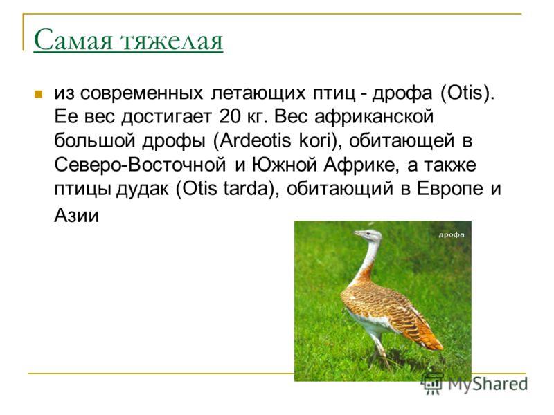 Самая тяжелая из современных летающих птиц - дрофа (Otis). Ее вес достигает 20 кг. Вес африканской большой дрофы (Ardeotis kori), обитающей в Северо-Восточной и Южной Африке, а также птицы дудак (Otis tarda), обитающий в Европе и Азии