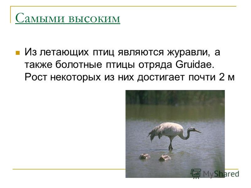 Самыми высоким Из летающих птиц являются журавли, а также болотные птицы отряда Gruidae. Рост некоторых из них достигает почти 2 м