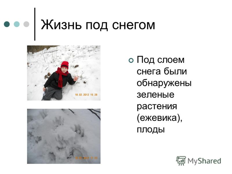 Жизнь под снегом Под слоем снега были обнаружены зеленые растения (ежевика), плоды