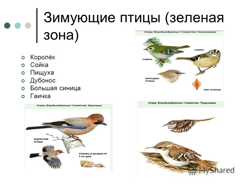 Зимующие птицы (зеленая зона) Королёк Сойка Пищуха Дубонос Большая синица Гаичка