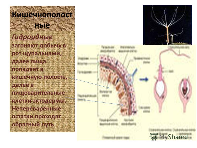 Кишечнополост ные Гидроидные загоняют добычу в рот щупальцами, далее пища попадает в кишечную полость, далее в пищеварительные клетки эктодермы. Непереваренные остатки проходят обратный путь