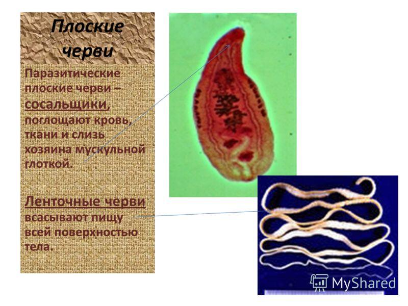 Плоские черви Паразитические плоские черви – сосальщики, поглощают кровь, ткани и слизь хозяина мускульной глоткой. Ленточные черви всасывают пищу всей поверхностью тела.