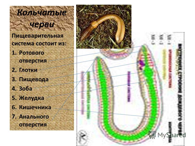 Кольчатые черви Пищеварительная система состоит из: 1.Ротового отверстия 2.Глотки 3.Пищевода 4.Зоба 5.Желудка 6.Кишечника 7.Анального отверстия