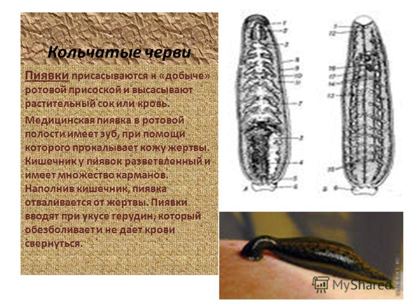 Кольчатые черви Пиявки присасываются к «добыче» ротовой присоской и высасывают растительный сок или кровь. Медицинская пиявка в ротовой полости имеет зуб, при помощи которого прокалывает кожу жертвы. Кишечник у пиявок разветвленный и имеет множество