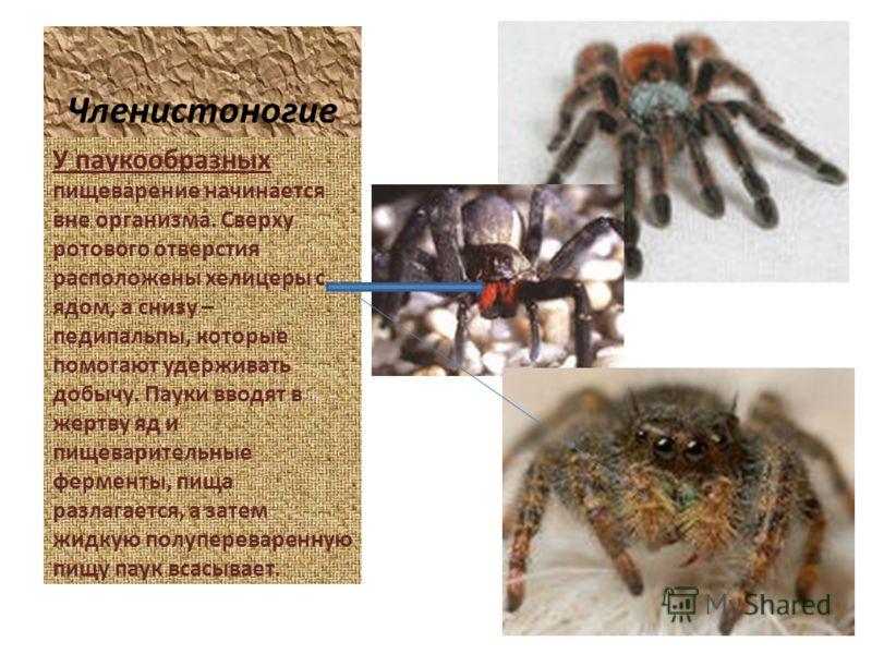 Членистоногие У паукообразных пищеварение начинается вне организма. Сверху ротового отверстия расположены хелицеры с ядом, а снизу – педипальпы, которые помогают удерживать добычу. Пауки вводят в жертву яд и пищеварительные ферменты, пища разлагается