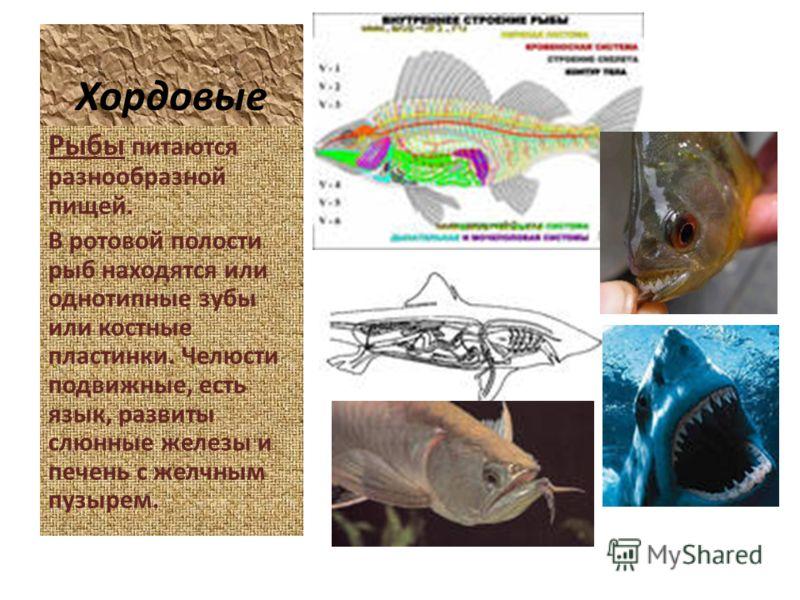 Хордовые Рыбы питаются разнообразной пищей. В ротовой полости рыб находятся или однотипные зубы или костные пластинки. Челюсти подвижные, есть язык, развиты слюнные железы и печень с желчным пузырем.
