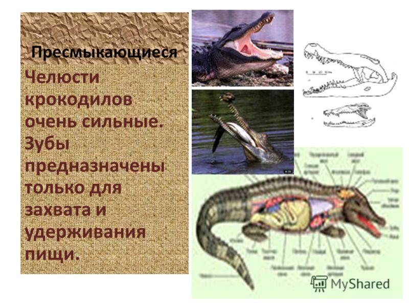 Пресмыкающиеся Челюсти крокодилов очень сильные. Зубы предназначены только для захвата и удерживания пищи.