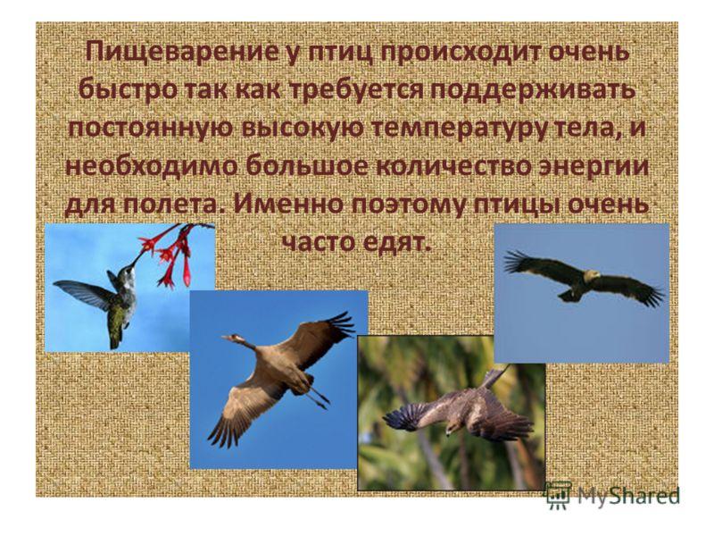 Пищеварение у птиц происходит очень быстро так как требуется поддерживать постоянную высокую температуру тела, и необходимо большое количество энергии для полета. Именно поэтому птицы очень часто едят.