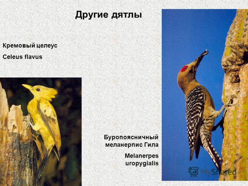 Другие дятлы Кремовый целеус Celeus flavus Буропоясничный меланерпис Гила Melanerpes uropygialis