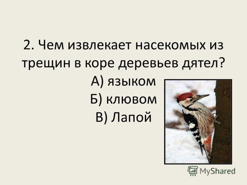 2. Чем извлекает насекомых из трещин в коре деревьев дятел? А) языком Б) клювом В) Лапой