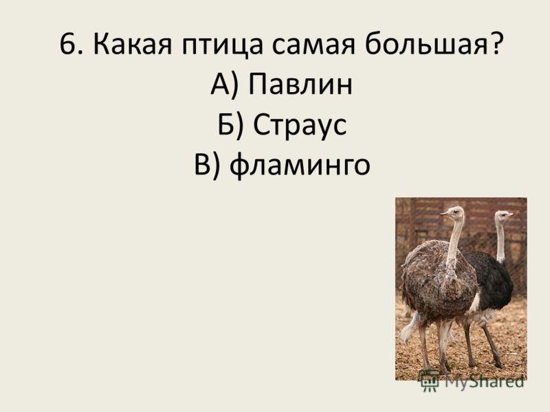6. Какая птица самая большая? А) Павлин Б) Страус В) фламинго