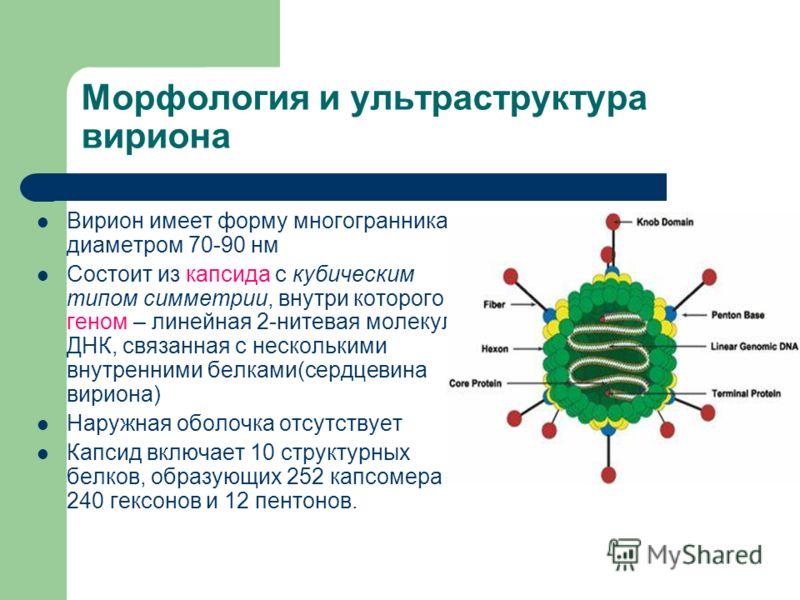 Морфология и ультраструктура вириона Вирион имеет форму многогранника с диаметром 70-90 нм Состоит из капсида с кубическим типом симметрии, внутри которого геном – линейная 2-нитевая молекула ДНК, связанная с несколькими внутренними белками(сердцевин