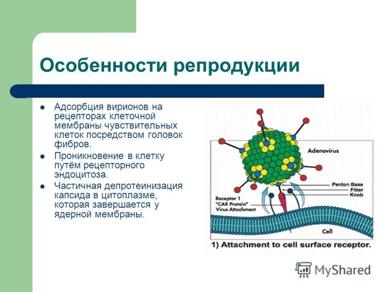 Особенности репродукции Адсорбция вирионов на рецепторах клеточной мембраны чувствительных клеток посредством головок фибров. Проникновение в клетку путём рецепторного эндоцитоза. Частичная депротеинизация капсида в цитоплазме, которая завершается у