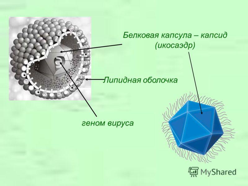 Белковая капсула – капсид (икосаэдр) геном вируса Липидная оболочка