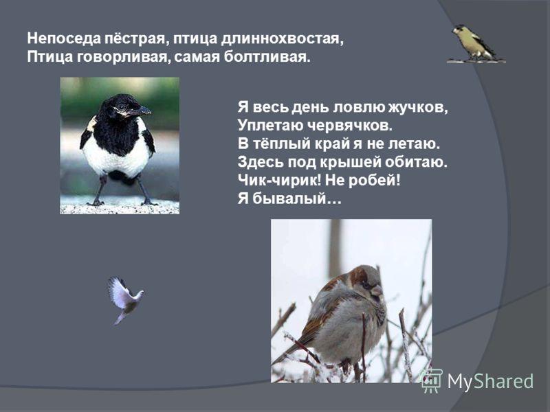 Непоседа пёстрая, птица длиннохвостая, Птица говорливая, самая болтливая. Я весь день ловлю жучков, Уплетаю червячков. В тёплый край я не летаю. Здесь под крышей обитаю. Чик-чирик! Не робей! Я бывалый…