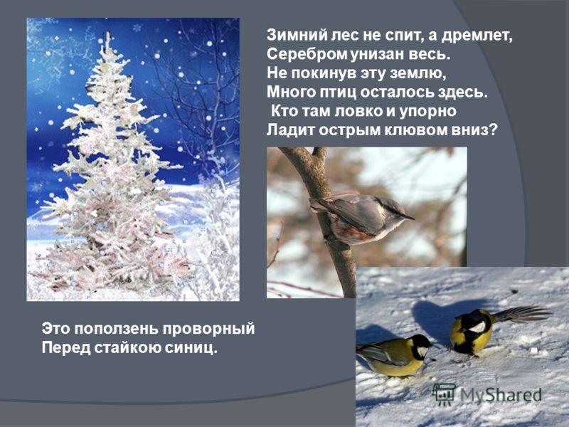 Зимний лес не спит, а дремлет, Серебром унизан весь. Не покинув эту землю, Много птиц осталось здесь. Кто там ловко и упорно Ладит острым клювом вниз? Это поползень проворный Перед стайкою синиц.