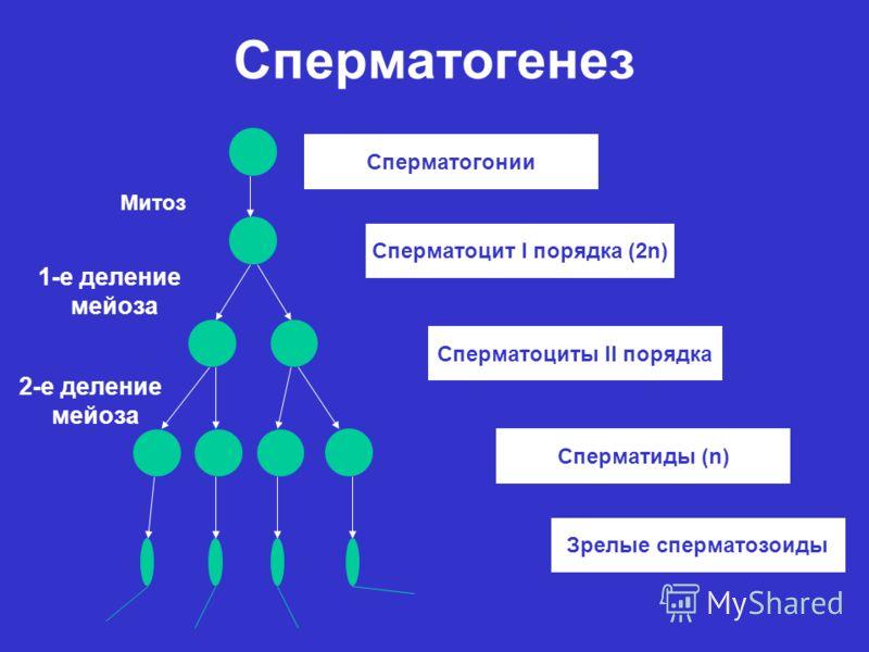Сперматогенез Сперматогонии Сперматоцит I порядка (2n) Сперматоциты II порядка Сперматиды (n) Зрелые сперматозоиды Митоз 1-е деление мейоза 2-е деление мейоза