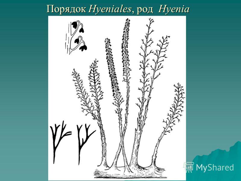 Порядок Hyeniales, род Hyenia