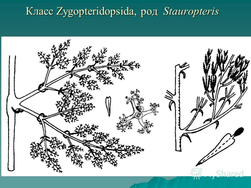 Класс Zygopteridopsida, род Stauropteris Класс Zygopteridopsida, род Stauropteris