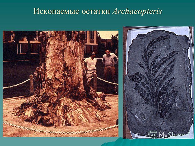 Ископаемые остатки Archaeopteris