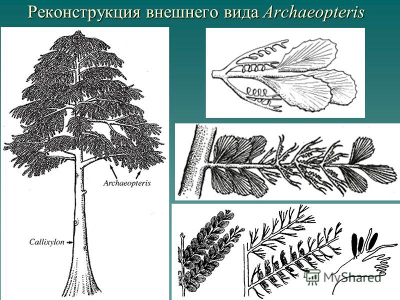 Реконструкция внешнего вида Archaeopteris