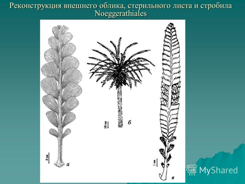 Реконструкция внешнего облика, стерильного листа и стробила Noeggerathiales