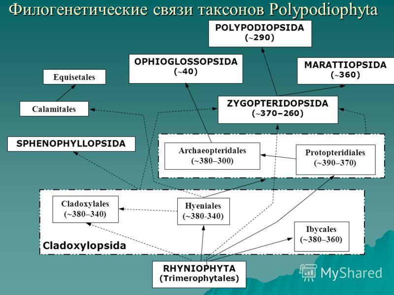 Филогенетические связи таксонов Polypodiophyta MARATTIOPSIDA (360) SPHENOPHYLLOPSIDA RHYNIOPHYTA (Trimerophytales) Ibycales ( 380–360) Hyeniales ( 380-340) Cladoxylales ( 380–340) ZYGOPTERIDOPSIDA (370–260) Protopteridiales ( 390–370) Archaeopteridal