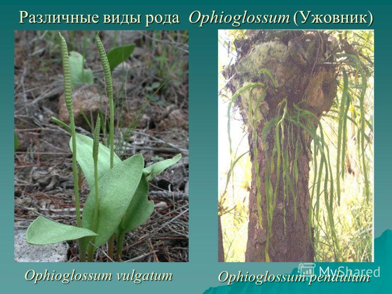 Различные виды рода Ophioglossum (Ужовник) Ophioglossum vulgatum Ophioglossum pendulum
