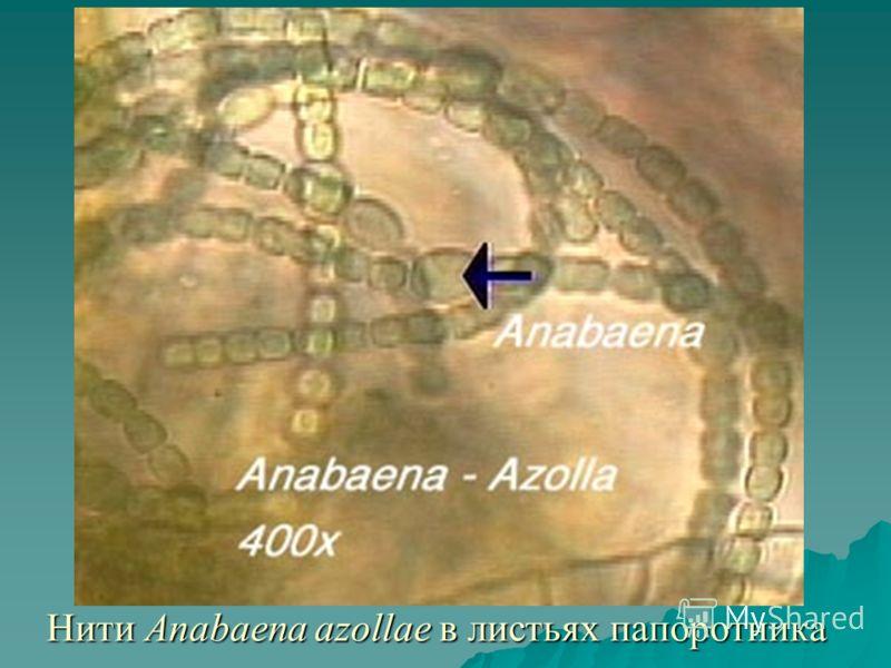 Нити Anabaena azollae в листьях папоротника
