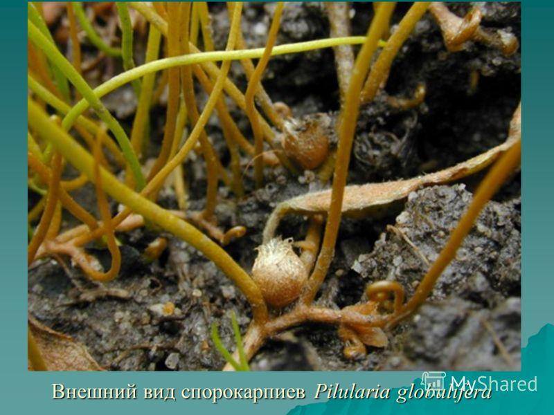 Внешний вид спорокарпиев Pilularia globulifera