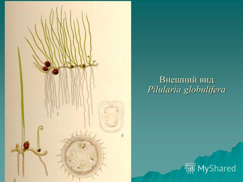 Внешний вид Pilularia globulifera