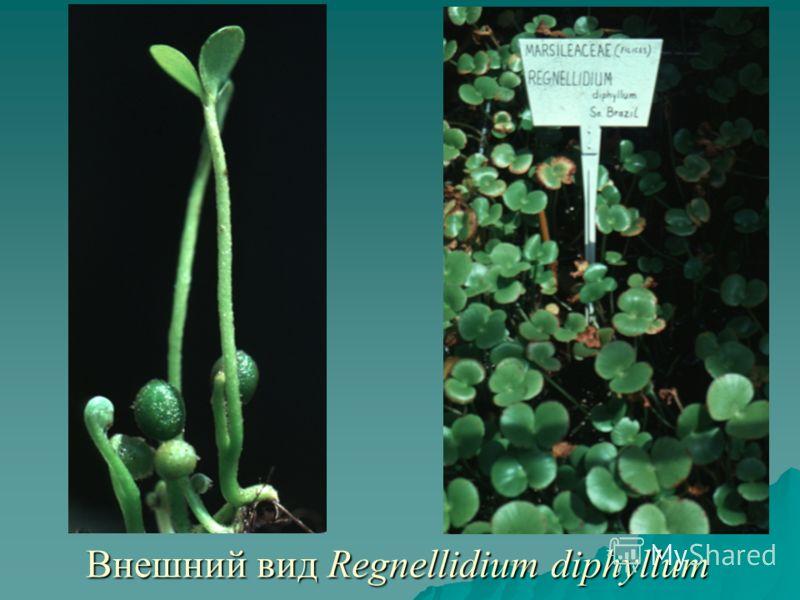 Внешний вид Regnellidium diphyllum