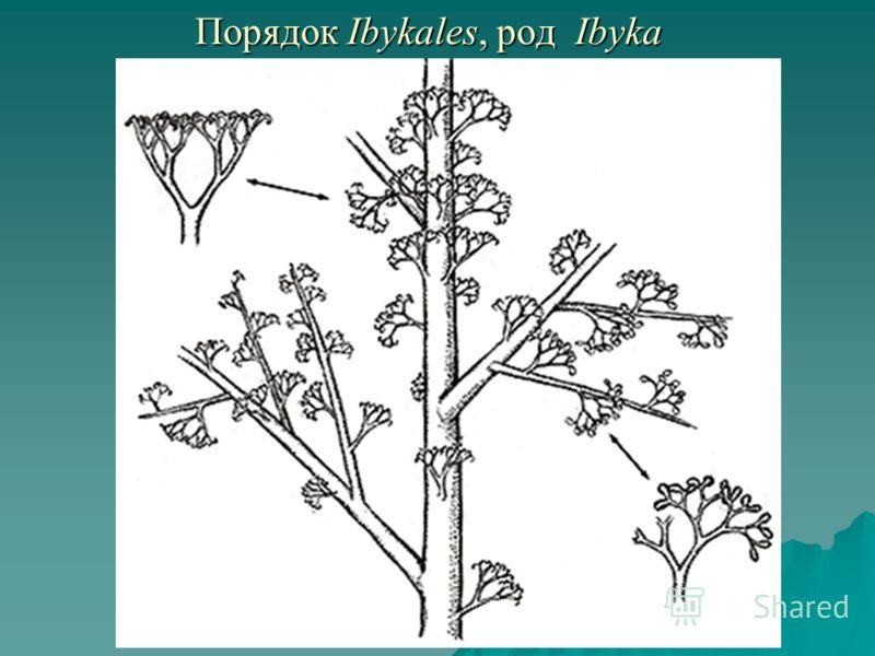 Порядок Ibykales, род Ibyka