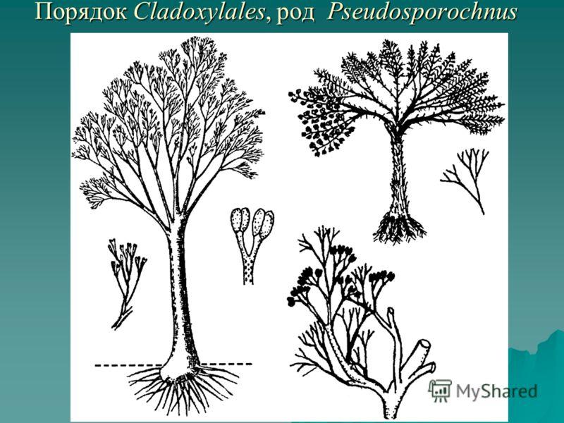 Порядок Cladoxylales, род Pseudosporochnus Порядок Cladoxylales, род Pseudosporochnus