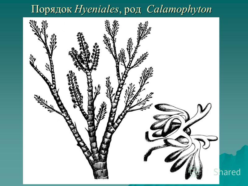 Порядок Hyeniales, род Calamophyton