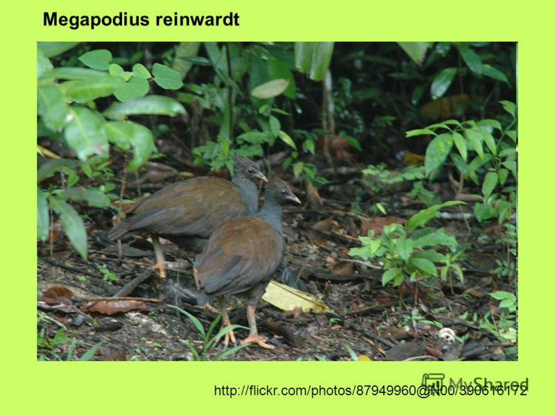 Megapodius reinwardt http://flickr.com/photos/87949960@N00/390616172
